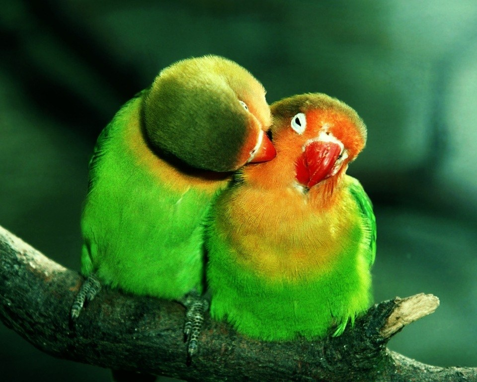 descargar-wallpaper-originales-y-gratuitos-para-san-valentin-pajaros
